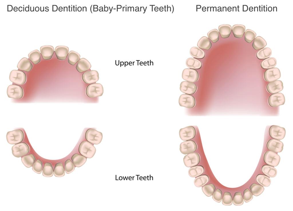 primary teeth - Romeo.landinez.co